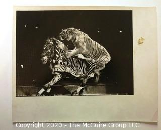 """Large Format Black & White Photo for Life Magazine: """"Circus"""", Tiger and Horse.  Some Staining to Mat."""